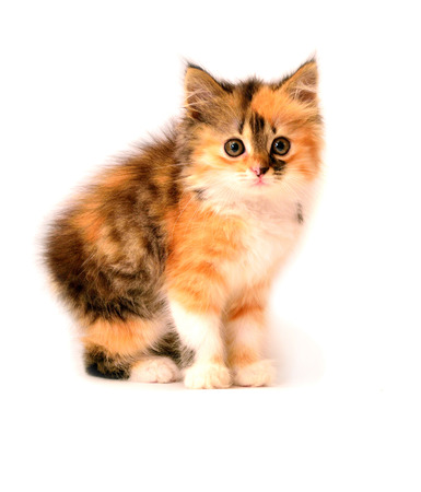 sneaks: Beautiful young colorful kitten sneaks. Playful kitten isolated on white background