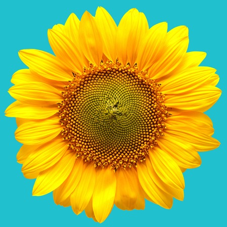 common blue: Sunflower closeup on a blue background. Beautiful flower. Agriculture. Seeds. Flat lay, top view