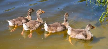 Young ducklings swimming in the river