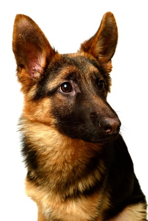 A beautiful muzzle is the German shepherd, isolated on a white background