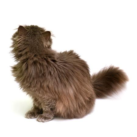 British cat turned isolated on white background