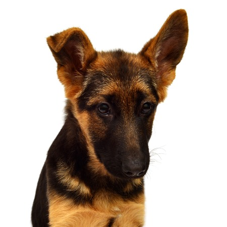 Little German Shepherd isolated on a white background