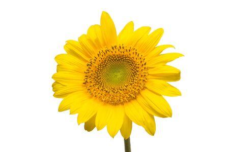 Fleur de tournesol isolé sur fond blanc. Graines et huile. Mise à plat, vue de dessus Banque d'images