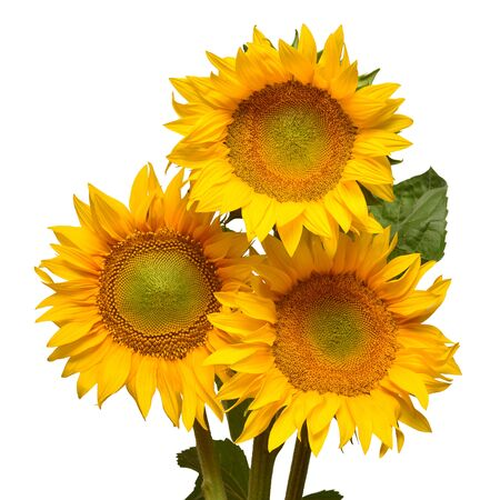 Three sunflowers isolated on white background. Flower bouquet. The seeds and oil. Flat lay, top view Stock Photo