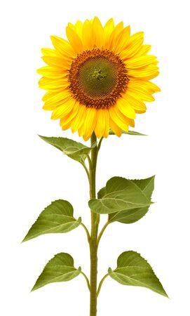 Fleur de tournesol isolé sur fond blanc. Graines et huile. Mise à plat, vue de dessus