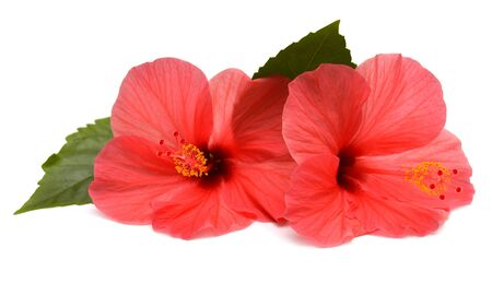 Pink hibiscus flowers with ieaf isolated on white background. Flat lay, top view