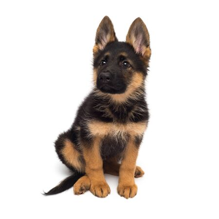 A beautiful puppy is the German shepherd, isolated on a white background. Fluffy dog close-up of brown and black color