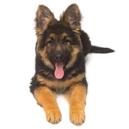 A beautiful puppy is the German shepherd, isolated on a white background. Fluffy dog close-up of brown and black color Stockfoto