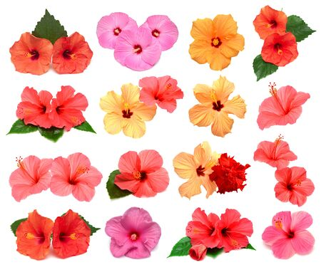 Collection of colored hibiscus flowers with leaves isolated on white background. Flat lay, top view. Creative card. Stock Photo