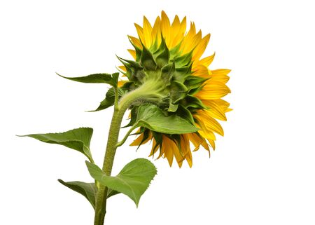 Sunflower turned sideways isolated on white background. Sun symbol. Flowers yellow, agriculture. Seeds and oil. Flat lay, top view. Bio. Eco. Creative Archivio Fotografico