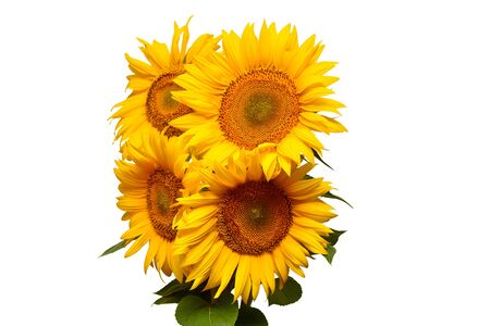 Sunflowers bouquet with leaves isolated on white background. Sun symbol. Flowers yellow, agriculture. Seeds and oil. Flat lay, top view. Bio. Eco. Creative Stock Photo