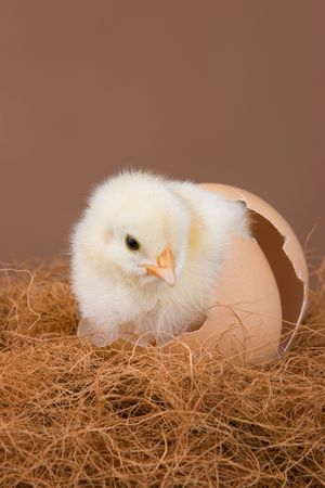 emerge: An one day old chick placed in the egg shell, where it hatched before.
