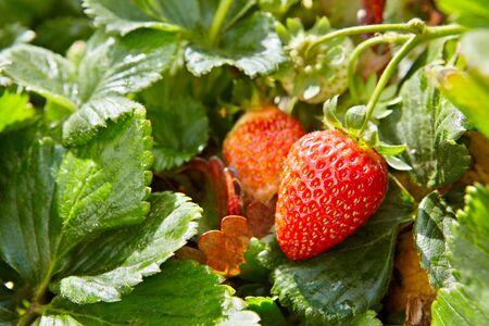 strawberry plant: Strawberry plants already ripe to harvest