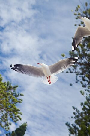 Seagull flying free on the sky. there might be a bit movement blur photo