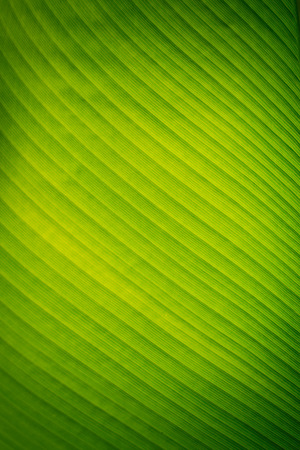 leaf pattern: Banana leaves texture background Stock Photo