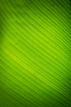 Banana leaves texture background Imagens