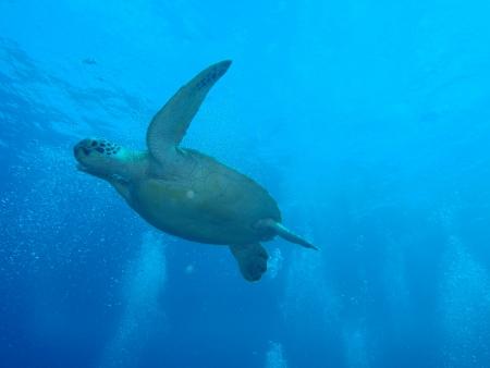 green sea turtle in Okinawa        photo