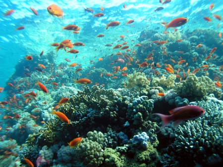 marine life: School of Fish in Red Sea