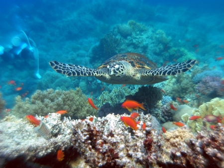 Hawksbill turtle  in Red Sea          photo
