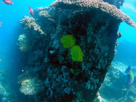 Chaetodon semilarvatus in Red Sea          photo