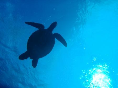 green sea turtle in Okinawa