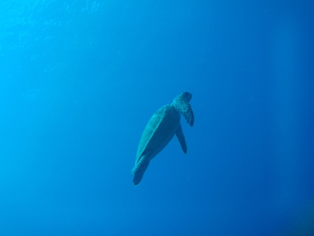 green sea turtle in Okinawa        photo