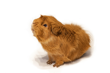 Guinea pig peruvian on white background Reklamní fotografie