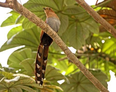 Cuckoo perched on a branch in the Mexican Pacific coastal region near Puerto Vallarta Stock Photo - 4923659
