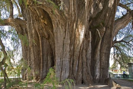 A 2000 year old cypress tree in Santa Maria del Tule, Oaxaca, Mexico