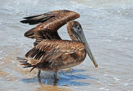 pelecanidae: Brown pelican opening wings on Pacific Ocean shore