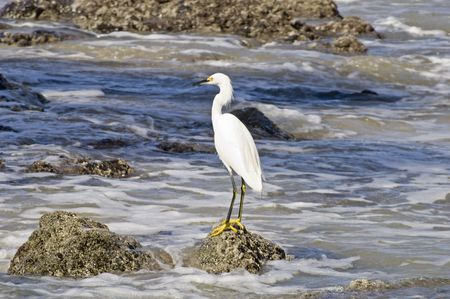 Snowy egret fishing by the Pacific Ocean in Nayarit, Mexico