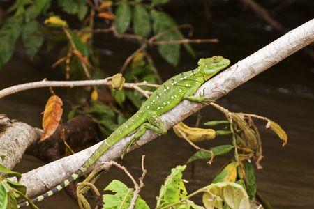 cano: Jesus Christ lizard in the Cano Negro Wildlife Refuge, Costa Rica