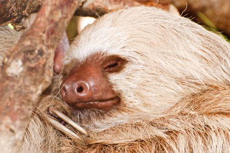 faultier: Zweifinger - Faultiere schlafen im Zentraltal Costa Ricas Lizenzfreie Bilder