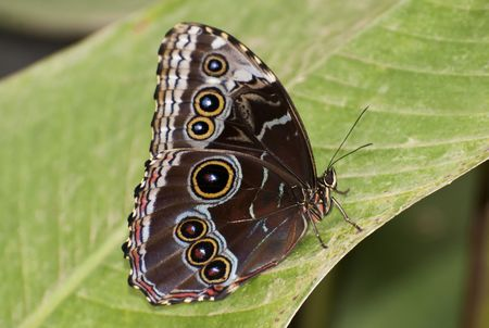 Blue Morpho butterfly on a leaf with closed wings