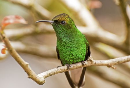 pollinator: Hummingbird perched on tree branch in Costa Ricas La Paz Waterfall Gardens