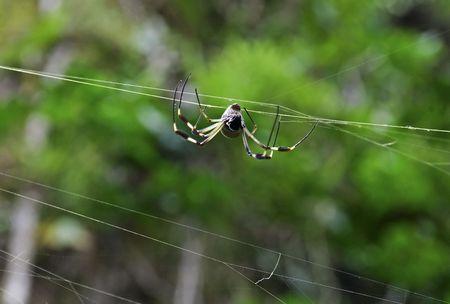 golden orb weaver: Golden Orb weaver spider weaving its net