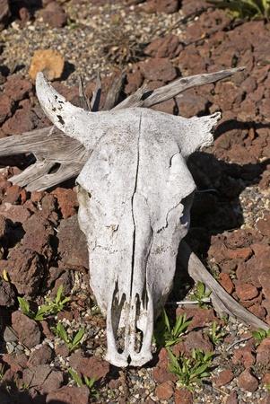 craneo de vaca: Sun blanqueado cr�neo de vaca en terreno