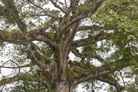 cano: Tree in the Cano Negro Wildlife Refuge, Costa Rica Stock Photo