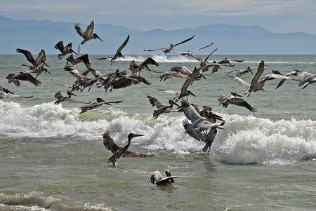 pelecanidae: Flock of brown pelicans taking flight on a Pacific Ocean shore  Bucerias, Nayarit, Mexico