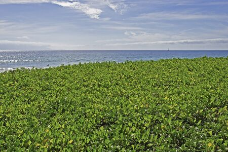 ground cover: Green ground cover with Pacific  Ocean background