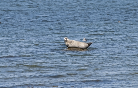 Sea Lion resting on a submerged rock in the St. Lawrence River, Quebec, Canada Banco de Imagens