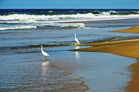 Pacific Ocean seashore with white egrets in foreground photo