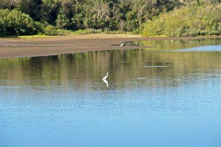 pacific ocean: White egret in a Pacific Ocean lagoon Costa Alegre Mexico
