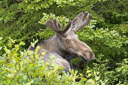herbivores: Closeup of Newfoundland bull moose with antlers