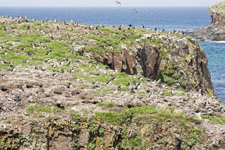newfoundland: A colony of Puffin seabirds in Elliston, Newfoundland, Canada