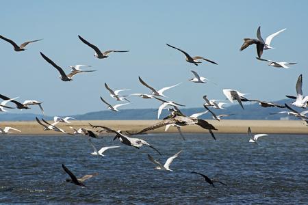 seabirds: Seabirds flying over tidal flats on the Pacific Ocean near Puerto Vallarta, Mexico