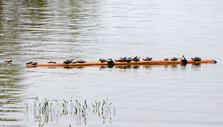 sunning: Turtles sunning on a floating log in Eastern Canada
