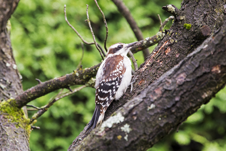 Downy woodpecker perched on a branch in Quebec, Canada