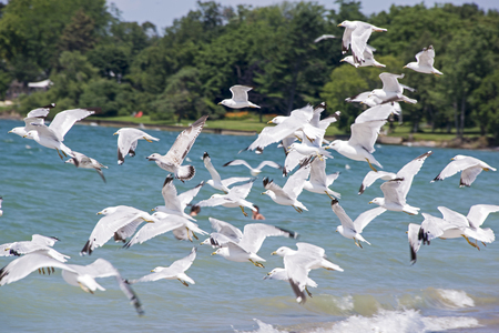 Seagulls taking off from a lake in Eastern Canada