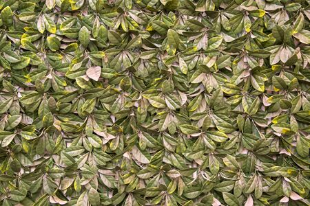 Leaf covered wall, suitable for background